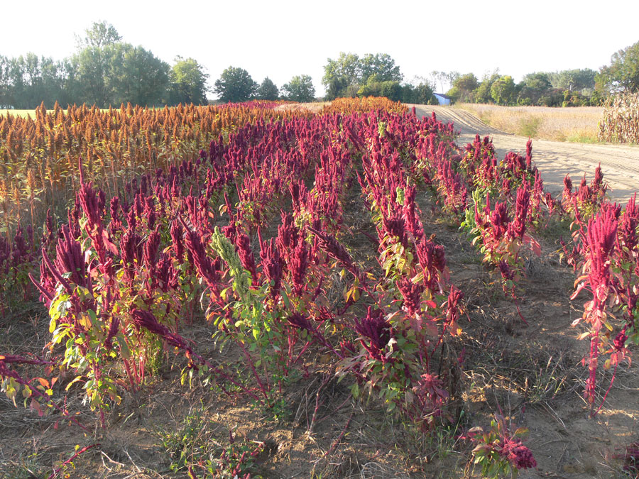 Amaranth Plant Care Tips On Growing The Amaranth Plant