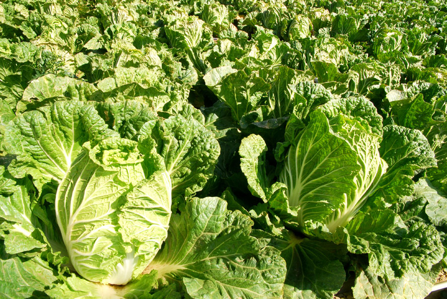 youtube how to grow chinese cabbage
