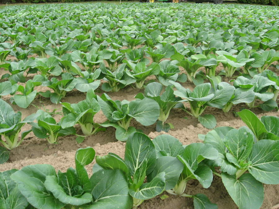 Create A No Dig Garden together with Clip 8511304 Stock Footage Green Leaf Mustard In Growth At Vegetable Garden moreover Stock Photo Bok Choy Growing 17409560 likewise Yu Choy With Oyster Sauce together with Chinese Long Bean Yardlong Bean. on growing choy sum