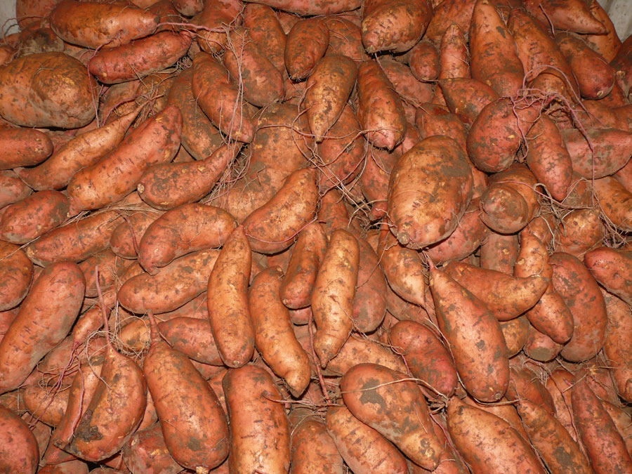 Specialty Cropportunitites: Sweet Potatoes