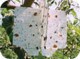 White sticky 3D trap used to monitor adult sawflies