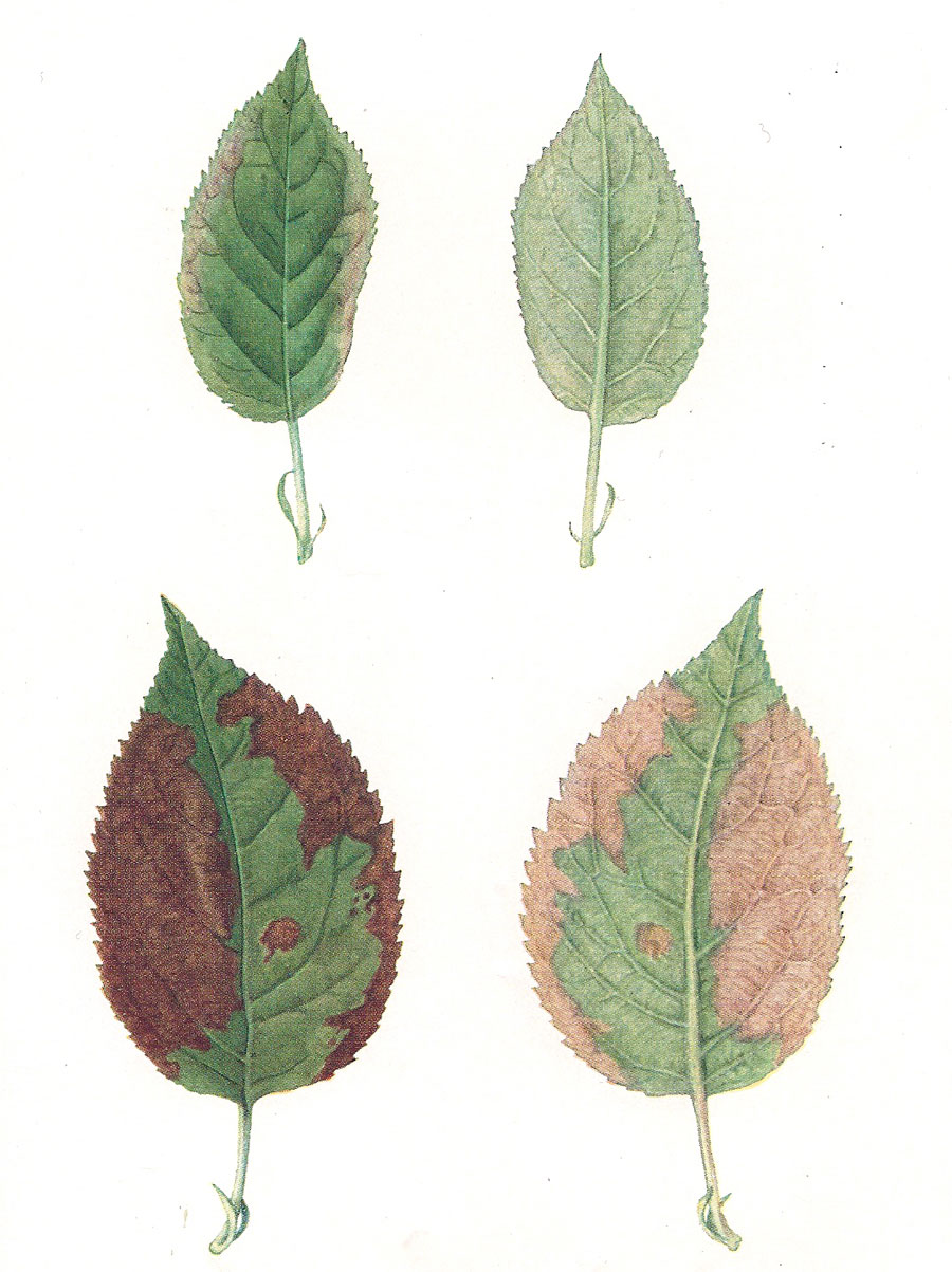 Calcium deficiency – young leaf showing discolouration and necrosis (top),  nearly mature leaf with extensive areas of dead tissue (bottom)