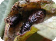 OBLR pupal case (right) with tachinid fly pupal case (left)