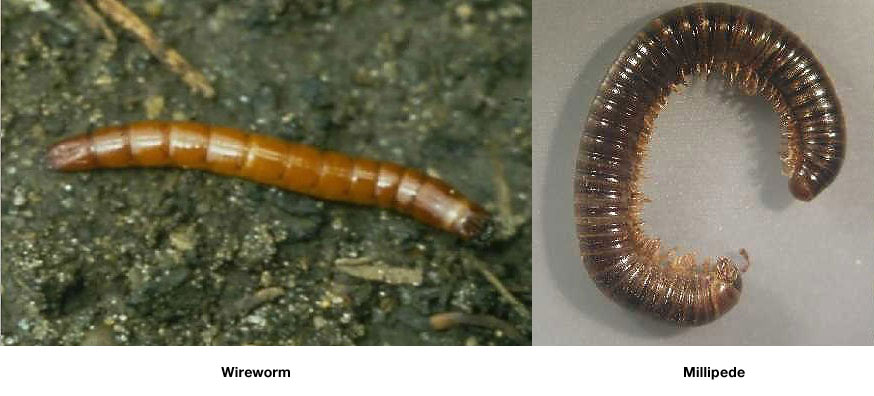 millipede scientific name