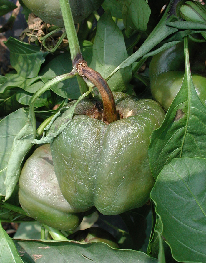 Fruits suddenly collapsing - diagnosis anyone? Peppers_phytophthora1_zoom