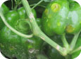Hail injury on pepper plant and fruit