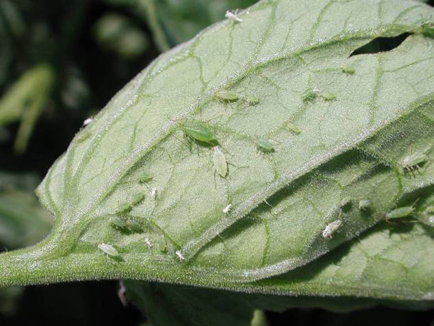Aphids On Tomatoes. Aphids. Beginner Advanced
