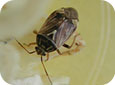 Tarnished Plant Bug Adult