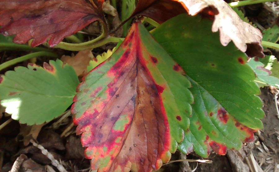 Leaf Blight - Strawberries - Ontario CropIPM