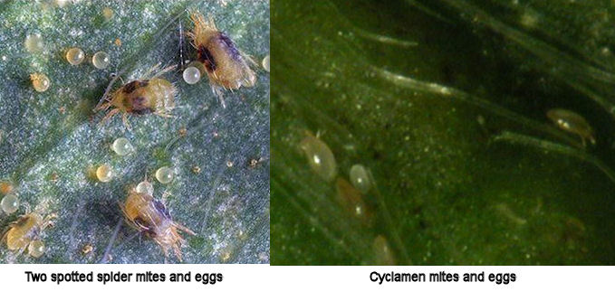 Two-spotted Spider Mite - Strawberries - Ontario CropIPM