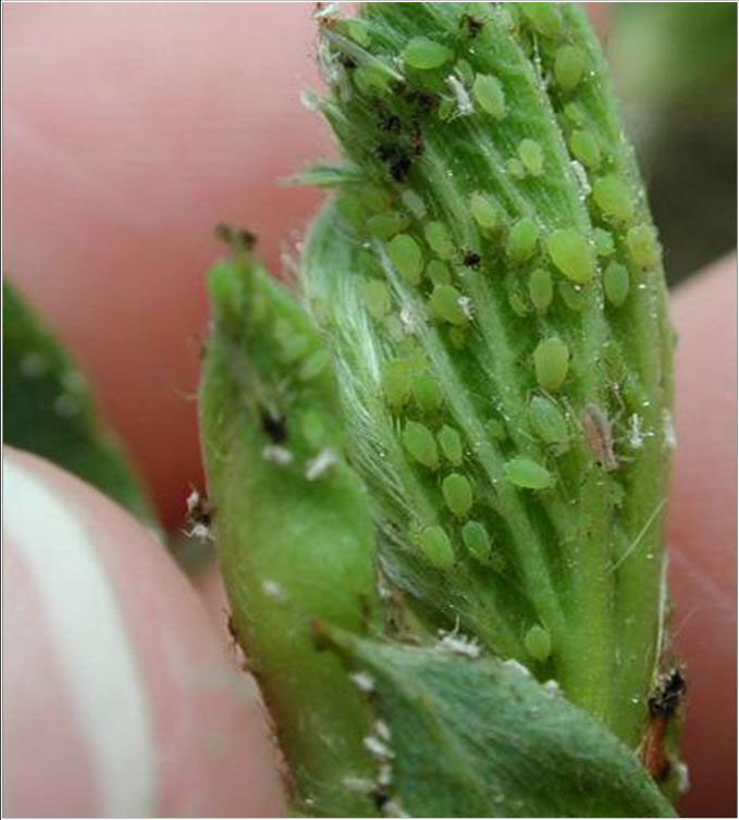 Pictures Of Aphids