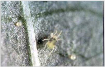 spider mites and strawberries There are many subspecies of spider mites in the tetranychus genus including  the pacific spider mite, two-spotted spider mite and strawberry spider mite.