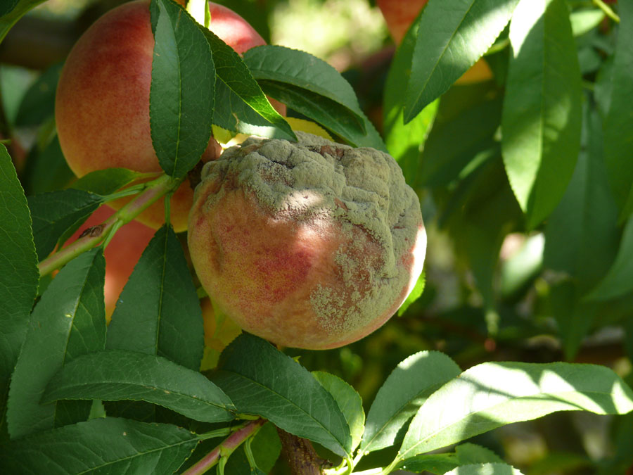 how to stop brown rot on peaches