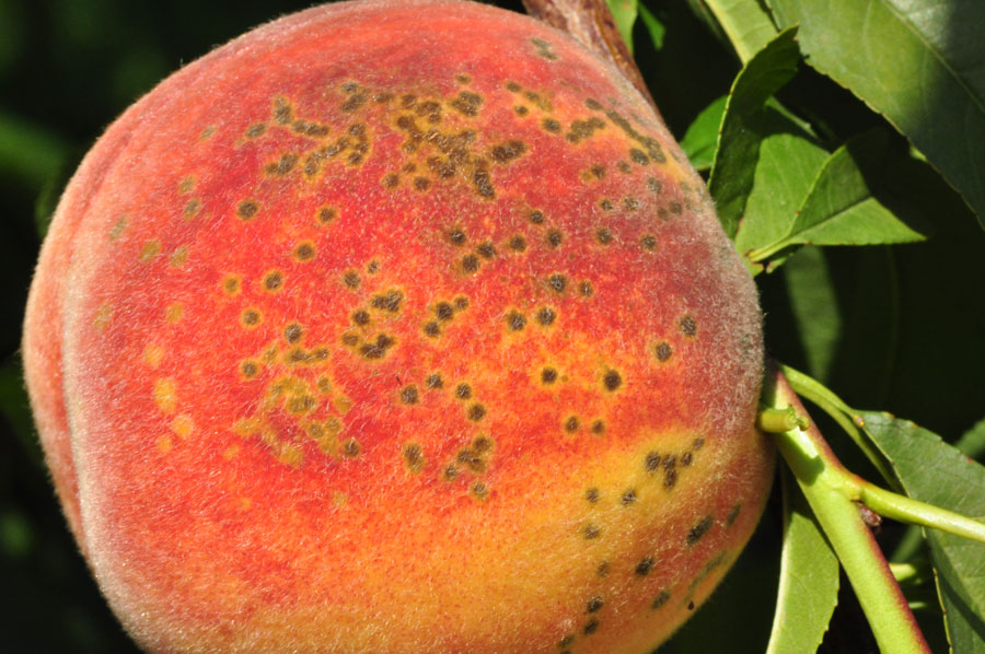 peach-scab-fruit1_zoom.jpg