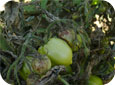 Advanced Late Blight Symptoms on Tomato Foliage and Fruit