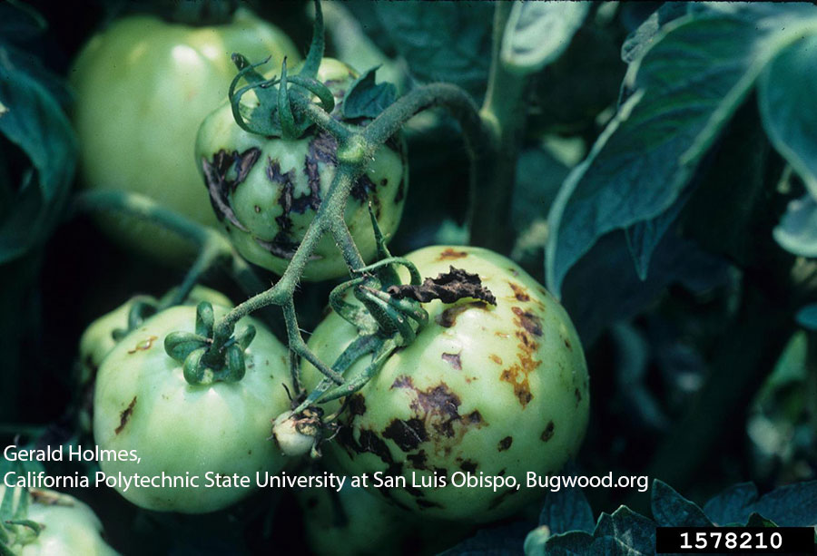 tomato diseases and disorders pdf