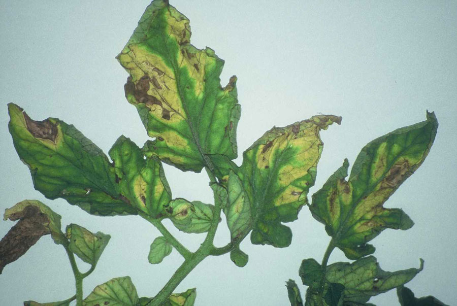 http://www.omafra.gov.on.ca/IPM/images/tomatoes/diseases/tomato_D32a-Verticillium-021-OMAFHRT_zoom.jpg