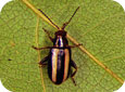 Palestriped Flea Beetle