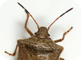 One Spotted Stink Bug Adult