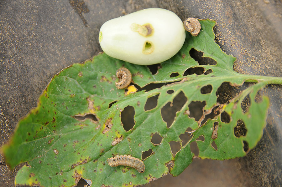 Cutworms on tomato plants