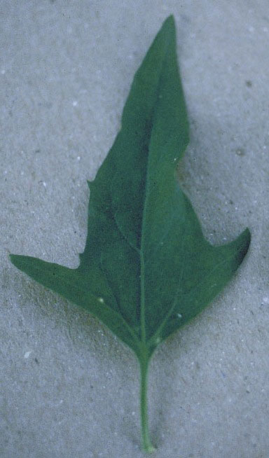 Morphology Of Leaves. leaves and branches,