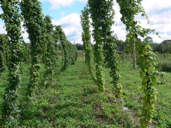 Local Hops are a Brewing Industry