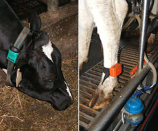 Activity monitors are often called pedometers. The picture shows an activity monitor mounted by a strap around a cow's lower leg and one around a cow's neck.