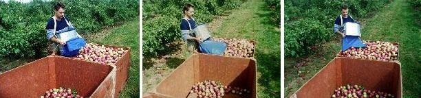 Three figures in total to show how to empty a picking bank of apples into a bin.
