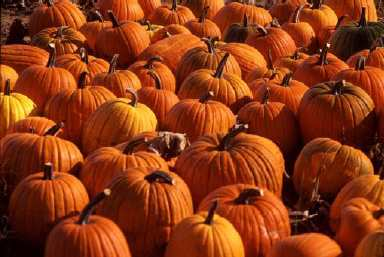 Figure 1. Pumpkins offer high visual impact in the market place.