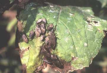 Figure 11. The squash bug has a preference for pumpkins. Damage is generally confined to the foliage, and can cause wilting of plants in severe cases.