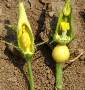 Figure 2. Male (left) and female (right) blossoms.