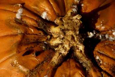 Figure 5. Slerotinia on pumpkin fruit. Note black pellet-like over-wintering bodies.