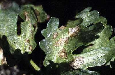 Figure 3: Septoria late blight lesion