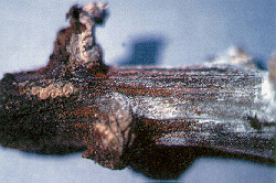 Figure 4. Note the presence of both the perfect stage containing perithecia and the imperfect stage witht he white cottony-like fungal growth on the pepper stem.