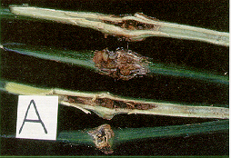 Figure 7. Internal and external stem symptoms due to Erwinia carotovara subsp. cartovara, a bacterial pathogen of greenhouse peppers, are similar to symptoms incited by Fusarium solani.