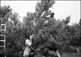 Tree fruit production is labour intensive.