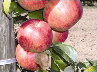 A portion of the mature crop (5 apples) is shown on the tree highlighting the reddish colour that develops best in cooler growing climates.