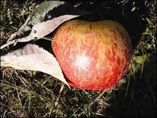 shows an apple with characteristic netting of Honeycrios caused by mildew