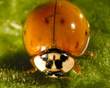 Multi-coloured Asian ladybeetle, Harmonia axyridis.