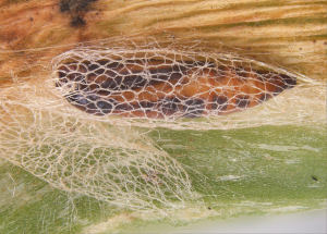 Close up of a pupa within its mesh cocoon
