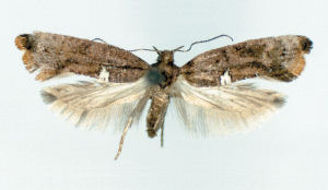 Carrion-flower moth adult