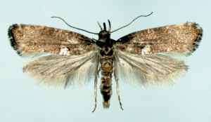 Leek moth adult
