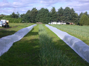 Row covers installed over garlic rows