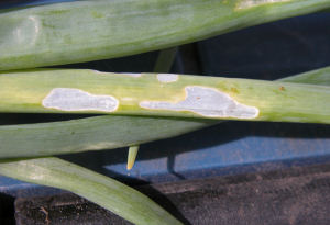 """Window"" damage on Onion an leaf"