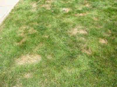 Figure One. Chinch bug damage on a lawn
