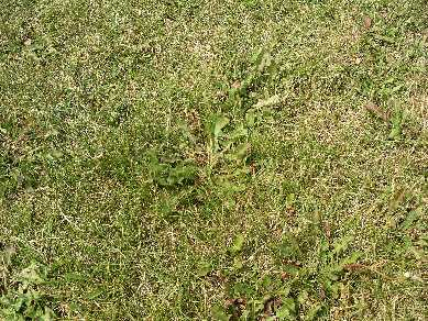 Lawn with broadleaf weed invasion.