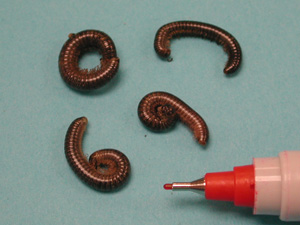 Millipedes commonly found in Ontario root crops.
