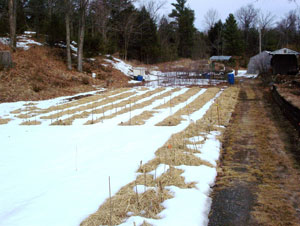 Figure 4. Garlic rows covered in straw mulch.