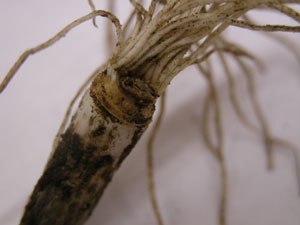 Figure 8. Underdeveloped garlic bulb; absence of roots on one side of basal plate is an indicator of stem and bulb nematode infection.