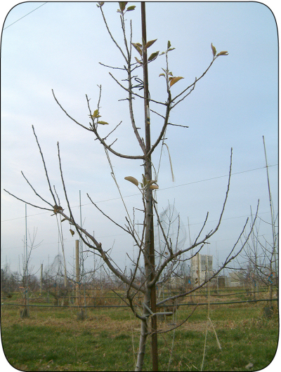 Figure 2. Ambrosia™ trees have an upright and somewhat spurry growth habit similar to Red Delicious.